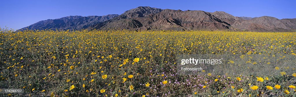 Panoramic view of desert lillies and desert gold yellow flowers in panoramic view of desert lillies and desert gold yellow flowers in spring fields of death valley mightylinksfo