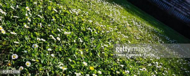 panoramic view of flowering plants growing on field - flowering plant stock photos and pictures