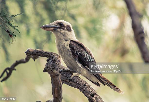 Panoramic View Of Kookaburra Perching On Twig