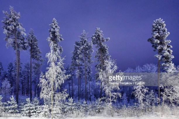 panoramic view of pine trees against sky during winter - teemu tretjakov stock pictures, royalty-free photos & images