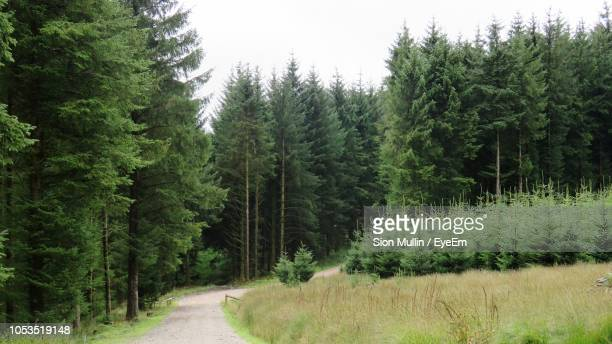 panoramic view of pine trees in forest against sky - pinaceae stock pictures, royalty-free photos & images