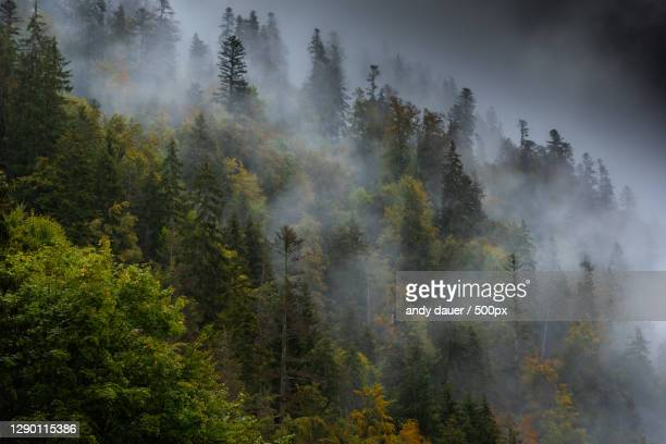 panoramic view of pine trees in forest against sky - andy dauer stock pictures, royalty-free photos & images