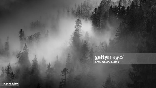 panoramic view of pine trees in forest during foggy weather,heutal,austria - andy dauer stock pictures, royalty-free photos & images