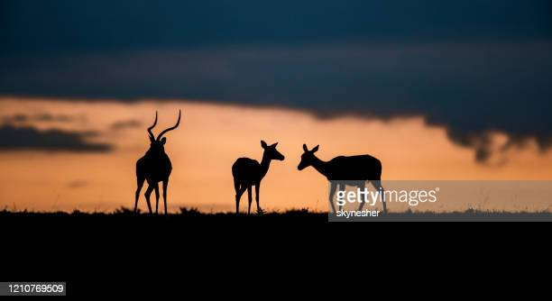 panoramic view of silhouettes of impalas at sunset. - night safari stock pictures, royalty-free photos & images