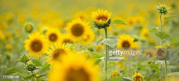 Panoramic view of sunflower field