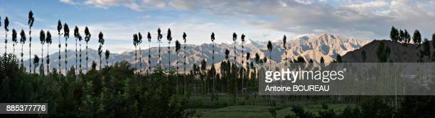 Panoramic view of the Himalayan massif of Leh and poplars, Ladakh, India