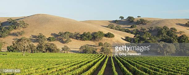 パノラマに広がるブドウ園の景色 - カリフォルニア州ロスオリボス ストックフォトと画像