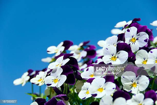 pansies against a blue sky - african violet stock photos and pictures