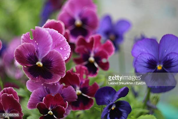 pansies blooming in garden - pansy stock pictures, royalty-free photos & images