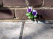 Pansies flower growing out of brick wall on sidewalk