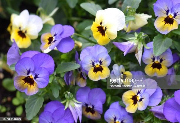 pansies - pansy stock pictures, royalty-free photos & images