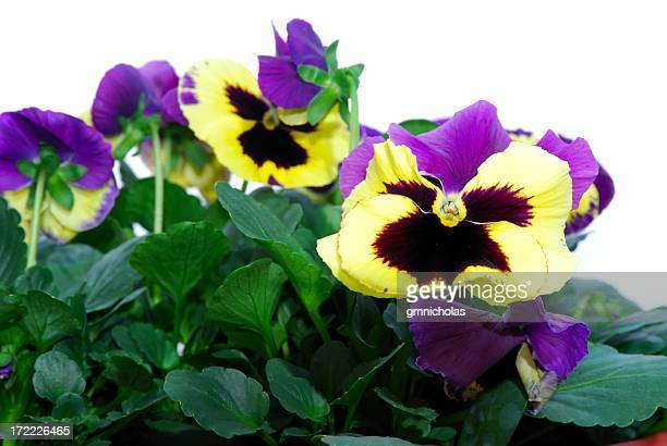 pansies - african violet stock photos and pictures