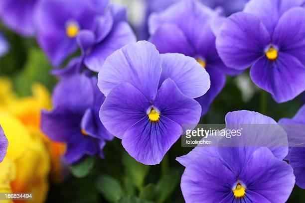 pansies - purple stock pictures, royalty-free photos & images