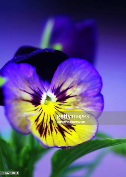 Pansy at Twilight