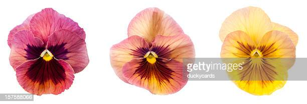 pansy flower blossoms - pansy stock pictures, royalty-free photos & images