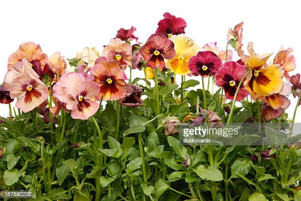 pansy flowers on white background - pansy stock pictures, royalty-free photos & images