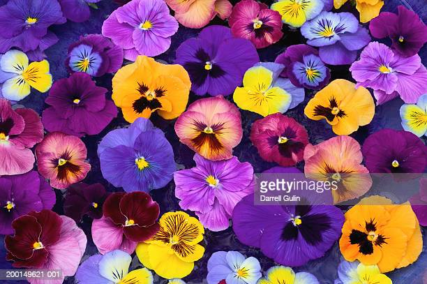 pansy flowers petals floating in bird bath, close-up, overhead view - pansy stock pictures, royalty-free photos & images