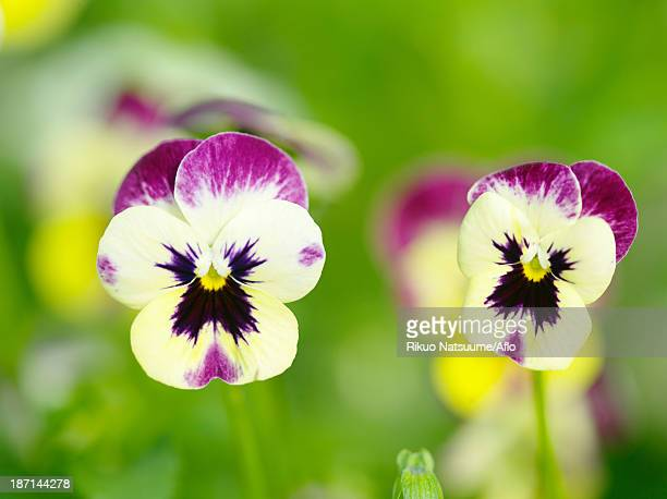 pansy flowers - pansy stock pictures, royalty-free photos & images
