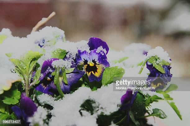 pansy flowers powdered with snow - pansy stock pictures, royalty-free photos & images