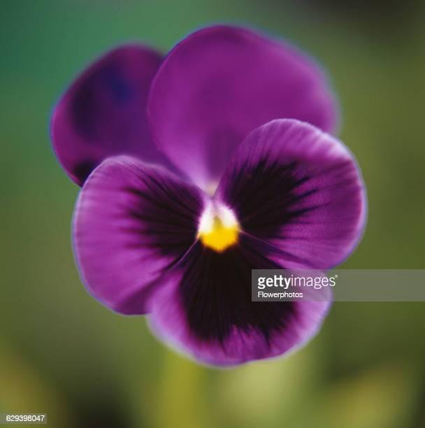 Pansy Viola wittrockiana