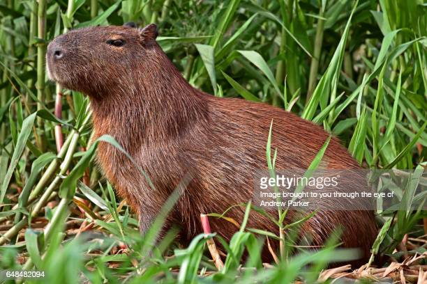Pantanal Capybara
