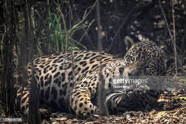 Pantanal Jaguar lays in a burnt field at the Parque Encontro das Aguas ecological reserve in the Pantanal wetlands region near Porto Jofre, Mato...