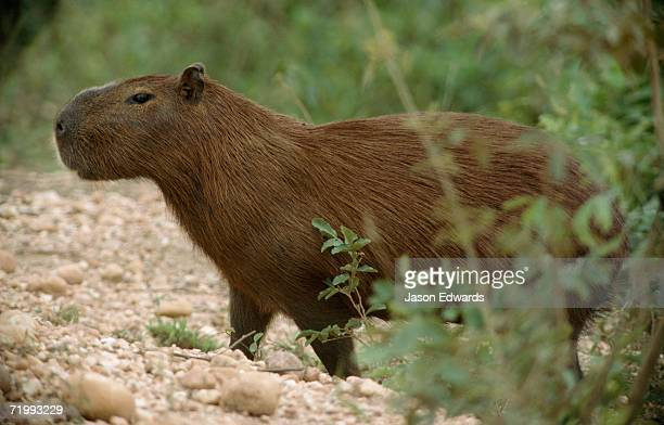 Pantanal National Park, Brazil. A capybara emerges from a wetland swamp onto a pebbled track.