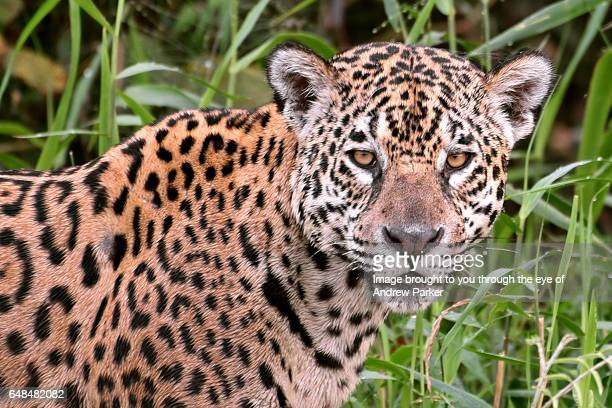 pantanal panthera onca - jaguar stock photos and pictures