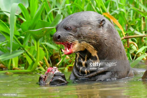 pantanal's giant otter #04 - pantanal wetlands stock pictures, royalty-free photos & images