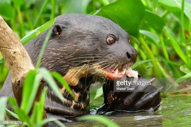 pantanal's giant otter #09 - giant otter stock pictures, royalty-free photos & images