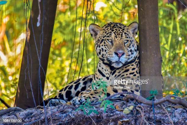 pantanal's jaguar #01 - pantanal wetlands stock pictures, royalty-free photos & images