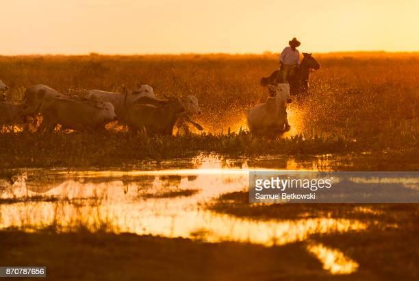 pantaneiro conduzindo un boiada em um alagado - marais de pantanal photos et images de collection