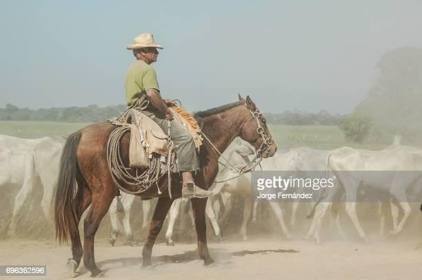 Pantaneiro on a horseback leading cattle over the Pantanal