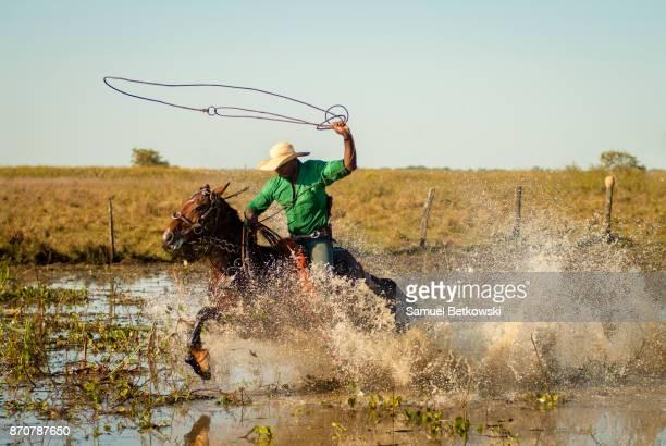 pantaneiro rodando seu laço e galopando em seu cavalo numa área alagada - pantanal stockfoto's en -beelden
