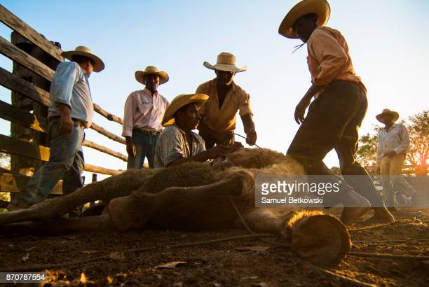 pantaneiros manejando um cavalo selvagem - animal selvagem stock pictures, royalty-free photos & images