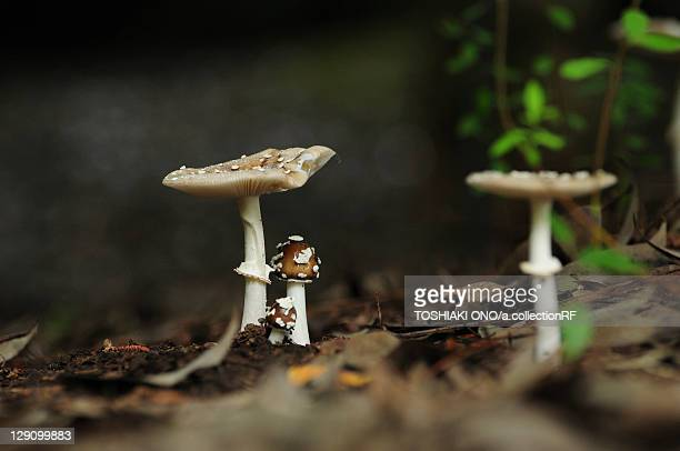 panther cap mushrooms - morel mushroom stock pictures, royalty-free photos & images