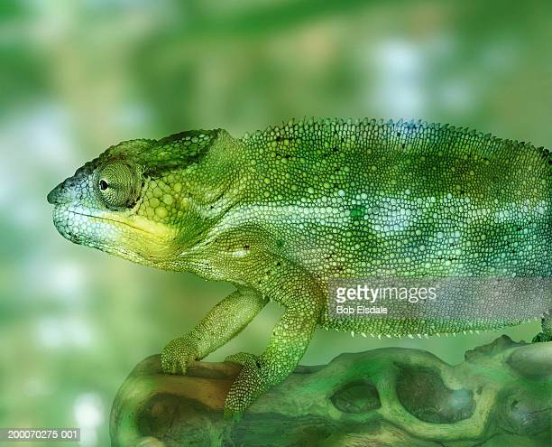 Panther chameleon (Chamaeleo pardalis), close-up