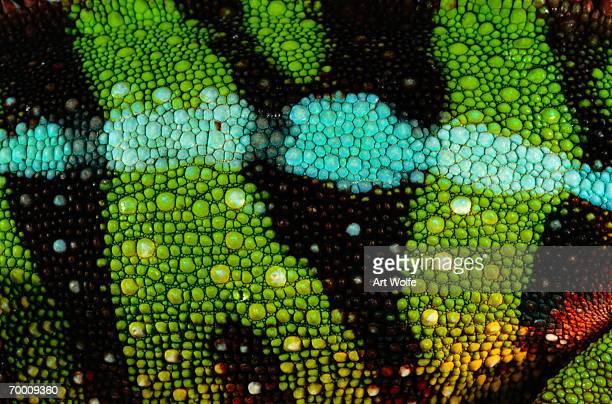 panther chameleon (chameleo pardalis), detail - um animal imagens e fotografias de stock