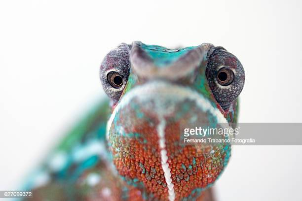 panther chameleon (chameleo pardalis),eye detail - chameleon stock photos and pictures