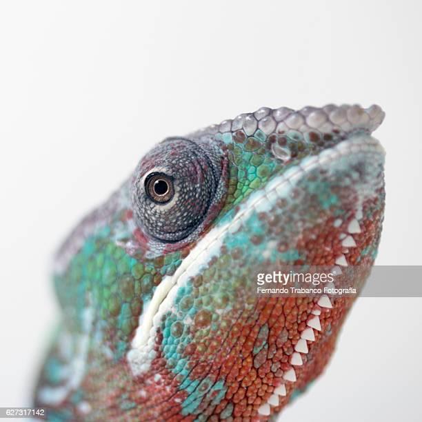 panther chameleon (chameleo pardalis),eye detail - warzen stock-fotos und bilder