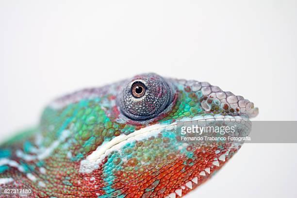 panther chameleon (chameleo pardalis),eye detail - camaleón fotografías e imágenes de stock