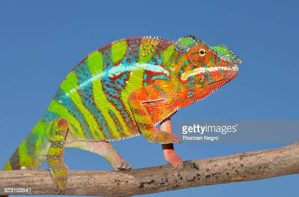 panther chameleon -furcifer pardalis-, ambilobe, madagascar - east african chameleon stock pictures, royalty-free photos & images