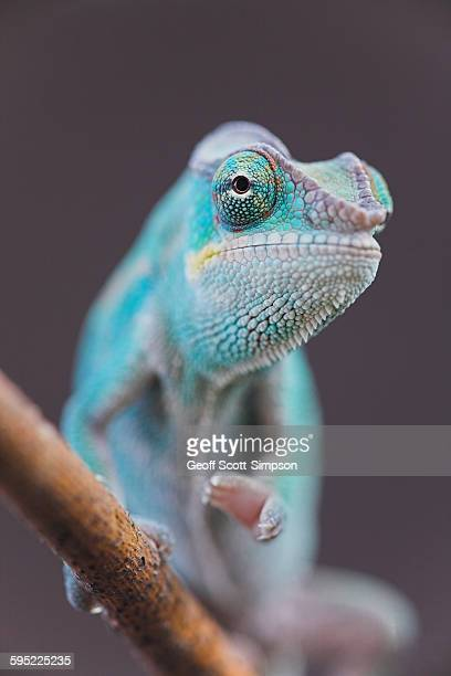 panther chameleon (nosy be), furcifer pardalis - east african chameleon stock pictures, royalty-free photos & images