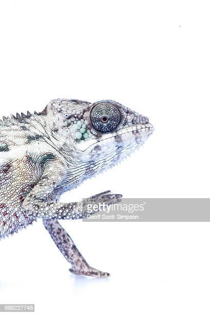 Panther Chameleon (Nosy Be), Furcifer pardalis