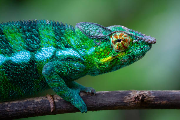 Panther Chameleon in Madagascar