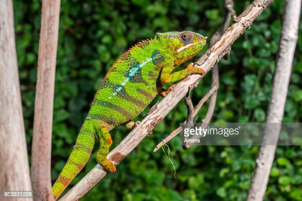 Panther chameleon in tree native to Madagascar