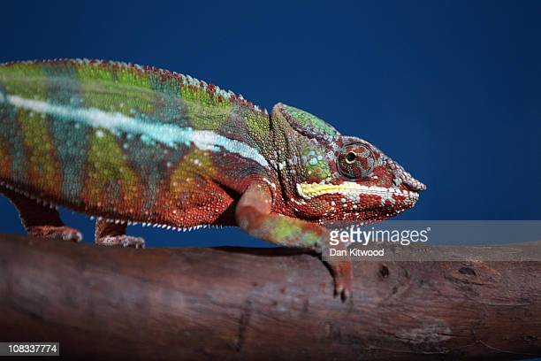 Panther Chameleon is pictured at Heathrow Airport's Animal Reception Centre on January 25 2011 in London England Many animals pass through the...