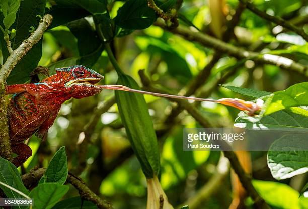Panther Chameleon, Madagasdar