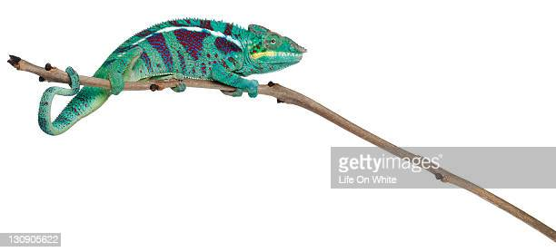 Panther Chameleon Nosy Be