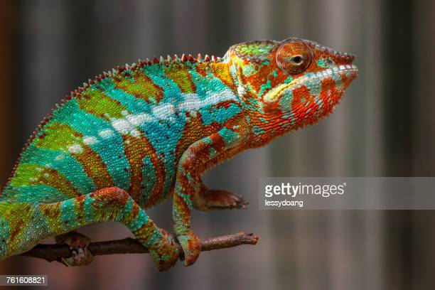 panther chameleon (furcifer pardalis) on a branch, jakarta, indonesia - reptile stock pictures, royalty-free photos & images